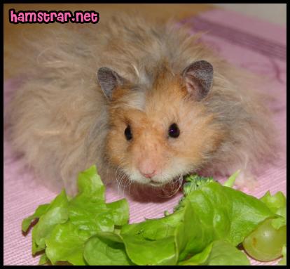 hamstermat2